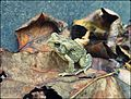 American Toad - Bee Rock Campground.jpg