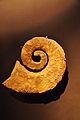 Ammonite de la réserve géologique de Haute-Provence 01.jpg