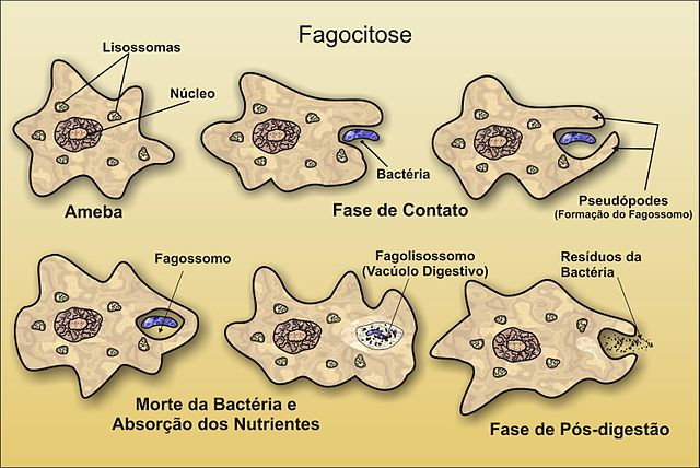 Resultado de imagen de fagocitosis ameba