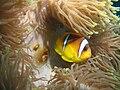 Amphiprion bicinctus Marsa Alam 7.JPG