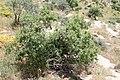 Amygdalus bucharica (Rosaceae) (33019611492).jpg