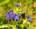 Anchusa officinalis bgiu.jpg
