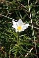 Anemone alpina, Crêt de la Neige - img 14236.jpg