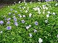 Anemones in Traquair Kirkyard - geograph.org.uk - 937379.jpg