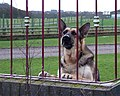 Angry German Shepherd glaring through the fence.jpg