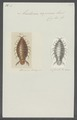 Anilocra capensis - - Print - Iconographia Zoologica - Special Collections University of Amsterdam - UBAINV0274 098 11 0009.tif