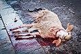 Animal sacrifice at Eid at Adha 7 (2).jpg