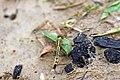 Anisoptera at Rajbiraj, Saptari, Nepal (3).jpg