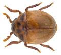 Anitys rubens (Hoffmann, 1803) (31747505335).png