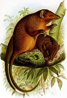 Narrow-striped marsupial shrew species of mammal