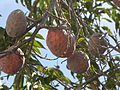 Annona fruit.JPG