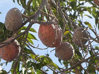 Annona - Annona tree, Mérida, Yucatán, Mexico