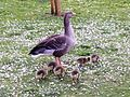Anser anser with goslings - Orpington - 12.jpg