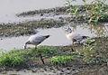 Anser indicus Kaziranga.jpg