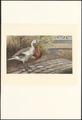 Anser magellanicus - 1886 - Print - Iconographia Zoologica - Special Collections University of Amsterdam - UBA01 IZA1000762.tif