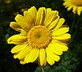 Anthemis tinctoria flower (09).jpg