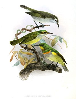 Anthreptes rectirostris Keulemans.jpg