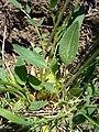 Anthyllis vulneraria pseudovulneraria2 W.jpg