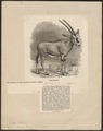 Antilope beisa - hoorns - 1874 - Print - Iconographia Zoologica - Special Collections University of Amsterdam - UBA01 IZ21400011.tif
