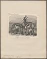 Antilope euchore - 1700-1880 - Print - Iconographia Zoologica - Special Collections University of Amsterdam - UBA01 IZ21400085.tif