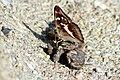 Apatura iris - Großer Schillerfalter, Flügelunterseite.jpg