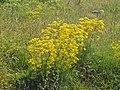 Apiaceae - Ferulago campestris.JPG