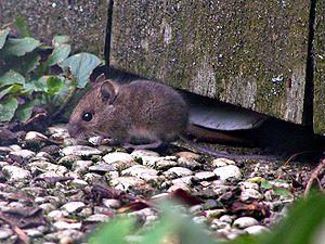 Muridae - Wood mouse, Apodemus sylvaticus