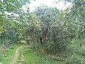 Apple trees in Bitsa Park, Moscow 01.jpg