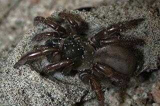 Euctenizidae Family of spiders