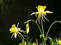 Aquilegia at The Courts Garden - geograph.org.uk - 1334685.jpg
