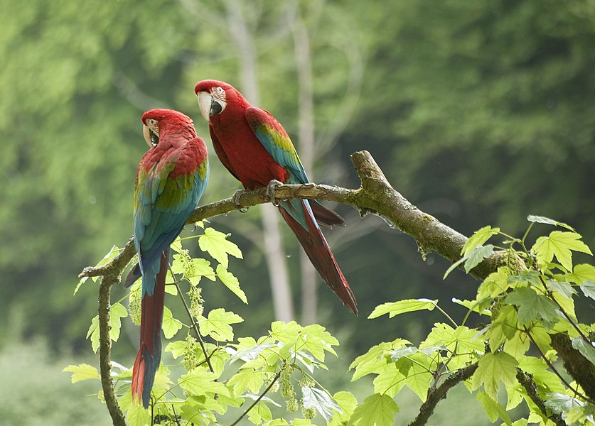 Red-and-green Macaws at Pont-Scorff Zoo, Morbihan, Brittany, France.