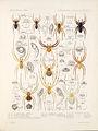 Arachnida Araneidea Vol 1 Table 34.jpg