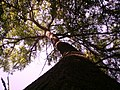 Arbol Frondoso - panoramio.jpg