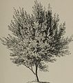 Arboretum et fruticetum britannicum, or - The trees and shrubs of Britain, native and foreign, hardy and half-hardy, pictorially and botanically delineated, and scientifically and popularly described (14761005416).jpg