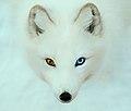 Arctic Fox 1 (10549184013).jpg