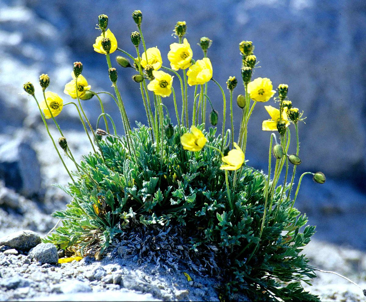Image Result For Arctic Tundra Plants