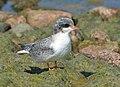 Arctic tern (14643324138).jpg