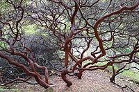 Arctostaphylos purissima - Regional Parks Botanic Garden, Berkeley, CA - DSC04564.JPG