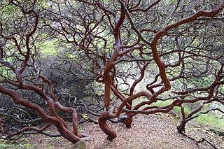 <i>Arctostaphylos purissima</i> species of plant