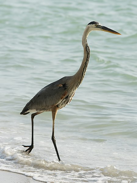 File:Ardea herodias (on beach).jpg