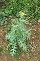 Argemone mexicana - Mexican Prickly Poppy - at Beechanahalli 2014 (7).jpg