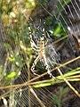 Argiope bruennichi, female, St Francis' Way 02.jpg