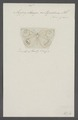 Argyrophenga - Print - Iconographia Zoologica - Special Collections University of Amsterdam - UBAINV0274 049 05 0034.tif