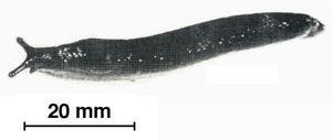 Oopeltidae - Ariostralis nebulosa