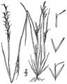 Aristida dichotoma BB-1913.png