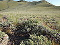 Artemisia arbuscula on Big Southern Butte (5882150476).jpg