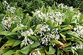 Arthropodium cirrhatum 'White Spire' kz1.jpg