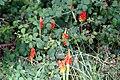 Arum italicum-1053 - Flickr - Ragnhild & Neil Crawford.jpg