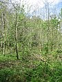 Ash plantation - Micheldever Woods - geograph.org.uk - 1672162.jpg