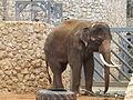 Asian Elephant male 03.jpg